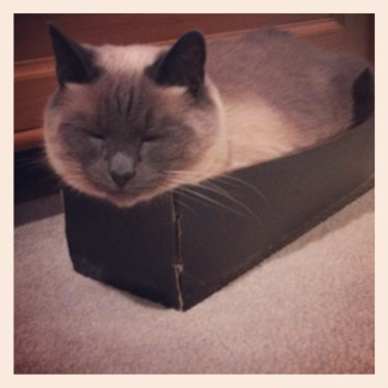 Fat cat. Small box. Fu napping.